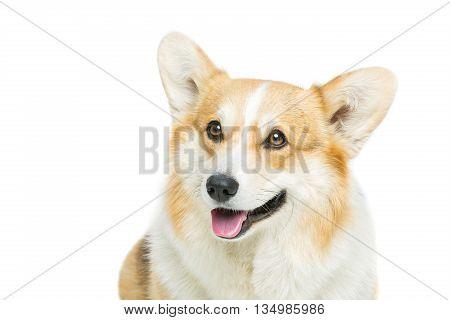 Beautiful welsh pembroke corgi dog over white background. Isolated. Copy space.