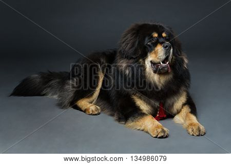 Closeup portrait of big beautiful Tibetan mastiff dog lying over black background. Copy space.