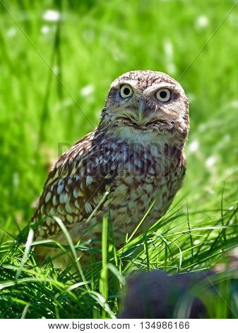 Burrowing owl (Athene cunicularia) sitting on the ground in grass