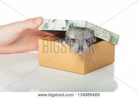 Chinchilla baby sitting in box isolated over white background. Copy space.