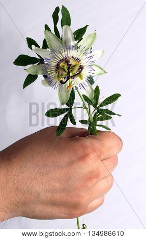 Beauty white blue passion flower Passiflora caerulea in male hand