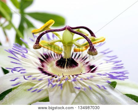 Beauty white blue passion flower Passiflora caerulea