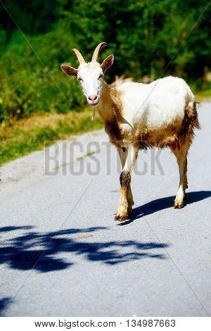 Free Summer Goat Walking On Mountain Road.