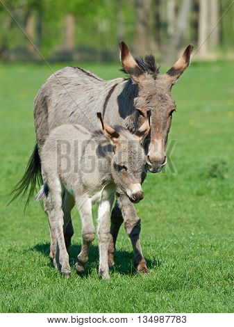 Donkey (Equus africanus asinus) and her little baby walking on grass
