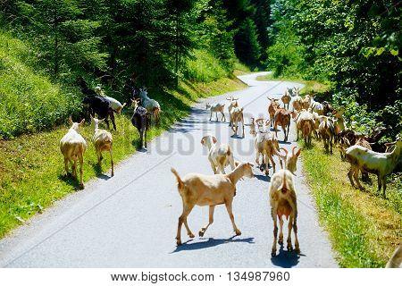 Goat Herd On The Road In Beautiful Mountain Resort.