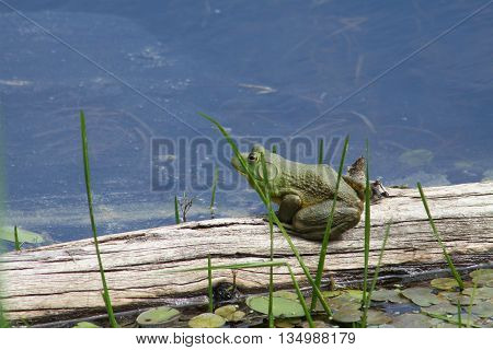 American Bullfrog sitting on an old log near the shore of a large swamp on a hot day.