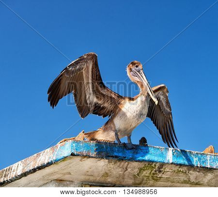 Pelican On Blue Sky Background