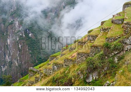 Lama in Machu Picchu in Peru. UNESCO World Heritage Site