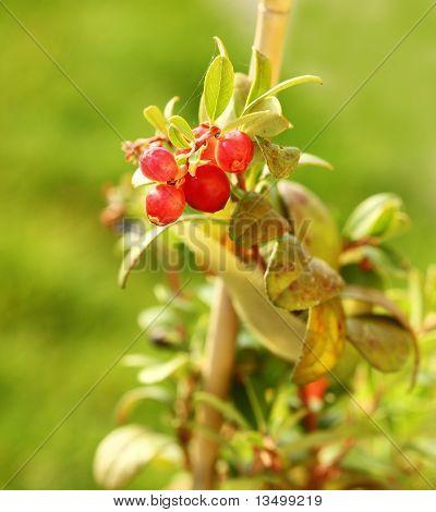 Cranberry Plant