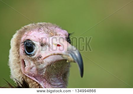 Close up of head of a hooded vulture