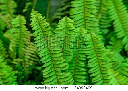 A green fern  leaves in the garden Thailand.
