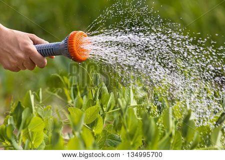 hand watering green peas in the vegetable garden closeup