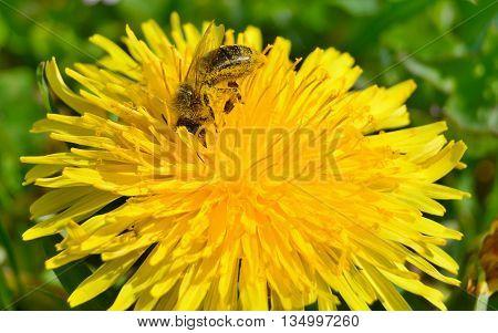 bee on a flower dandelion (Taraxacum officinale) South Bohemia Czech Republic
