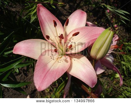Asiatic hybrids lilium 'Rosella's Dream' pink-white flower and buds.