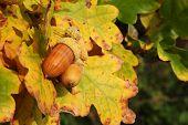 picture of glans  - Autumn acorns - JPG