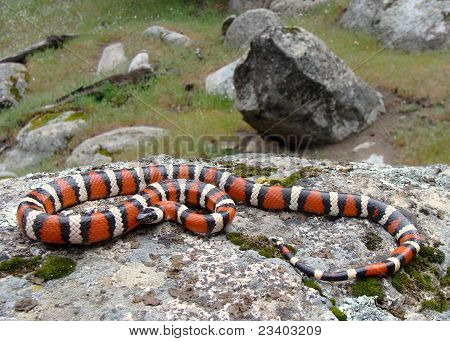 Coral Snake mimic, California Mountain King Snake (Kingsnake), a black, white and red snake