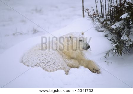 Polar Bear Cub In Day Berd