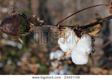 Cotton Boll Plant in Field