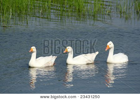 white gooses swimming