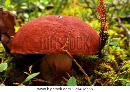 Mushroom Growing Between Lawn In Deep Forest