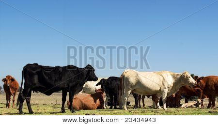 Herd Of Beef Cattle With Blue Sky Copyspace
