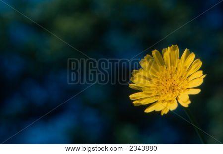 Goat'S Beard Flower