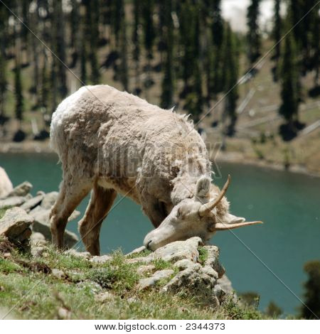 Wild Mountain Sheep In Pecos Wilderness, New Mexico