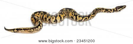 Female Pastel calico Python, Royal python or ball python, Python regius, in front of white background