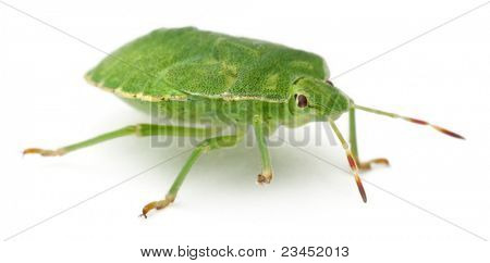 Green shield bug, Palomena prasina, in front of white background