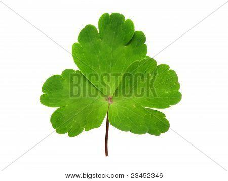Celandine Leaf