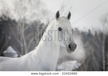 White Arabian In Winter