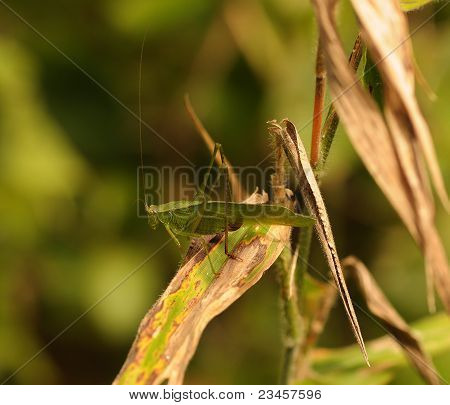 Oblong-Winged Katydid (Amblycorypha oblongifolia)