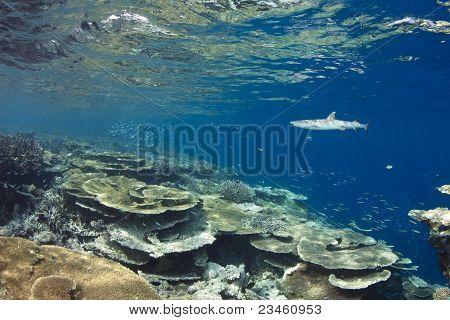 White Tip Reef Shark Triaenodon Obesus