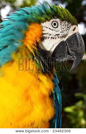 Close up portrait of blue and yellow macaw