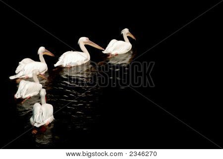 Group Of Pelicans With Reflection On The Water