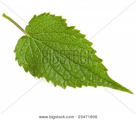 green mint leaf  isolated on white