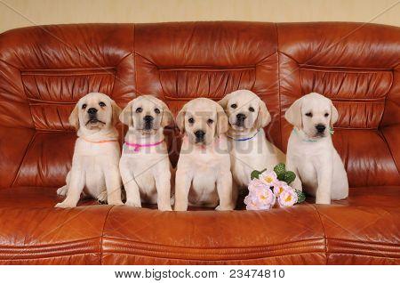 Five Adorable Labrador Puppies