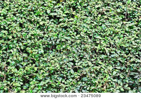 The Texture Of Shrubbery