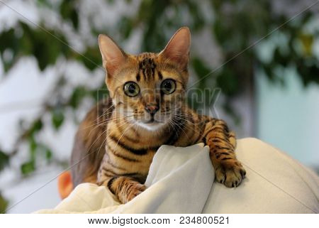 poster of Young Surprised Oriental Cat Make Big Eyes Closeup. Tabby Surprised Cat Or Kitten Funny Face Big Eye