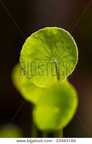 Centella asiatica leaves
