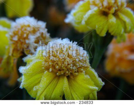 Flowers Under Hoar-frost