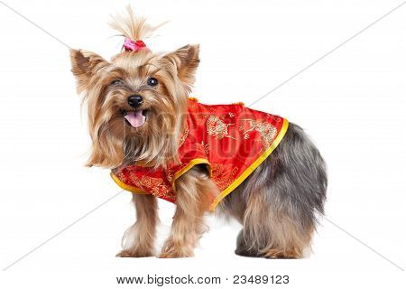 Yorkshire Terrier Dog In Red Chinese Clothes