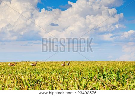 Wild Pronghorn In A Sorghum Field