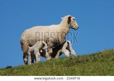 Nursing Sheep