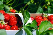 Fresh Strawberries. Appetizing And Delicious Beautiful Strawberries. Strawberry On Green Background. poster