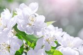Blossom Blooming On Tree In Springtime. Apple Tree Flowers Blooming. Blossoming Apple Tree Flowers W poster