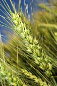 Close-up of organic wheat on the field poster