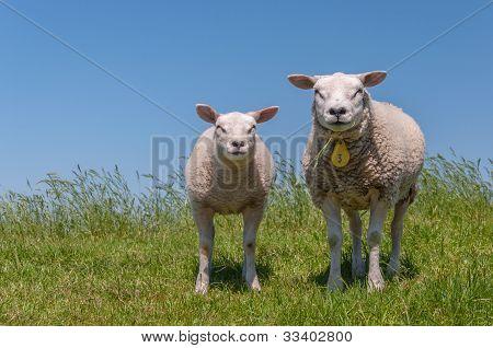 Portrait Of An Ewe And Het Lamb