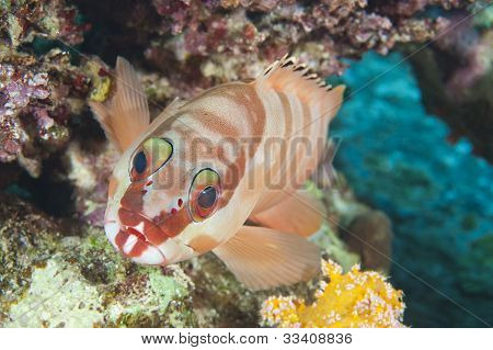 Closeup Of Blacktip Grouper On Reef