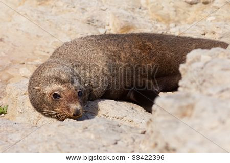 New Zealand fur seal, Arctocephalus forsteri